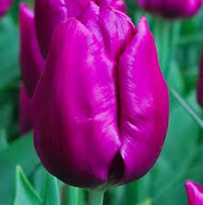 Purple Flag tulp - Stengs en Leijten