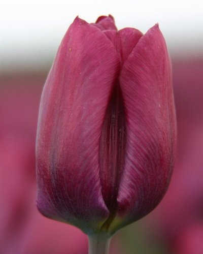 purple lady_tulp_Stengs en Leijten
