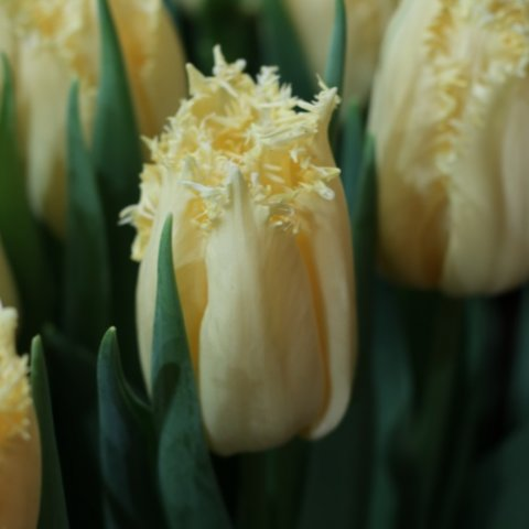 Rebellious yellow_tulp_Steng en Leijten