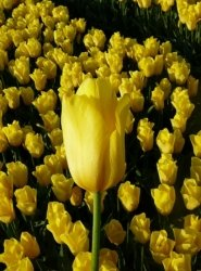 Strong gold tulp Stengs en Leijten